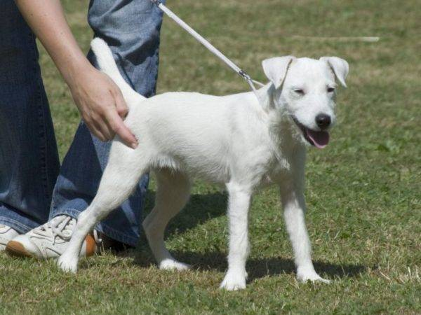 Parson Russell Terrier alb