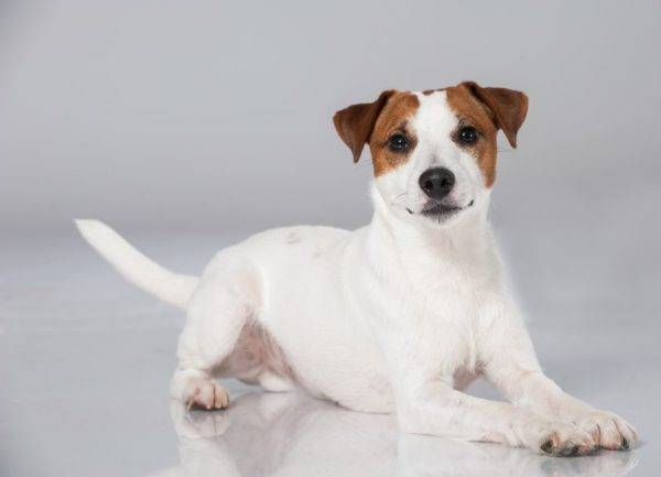 Parson Russell Terrier pe fundal alb