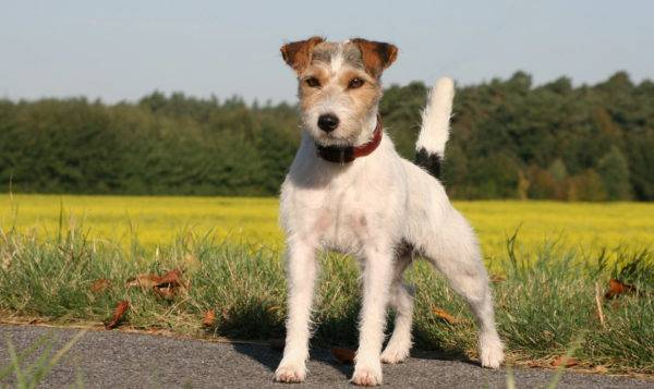Parson Russell Terrier pe drum