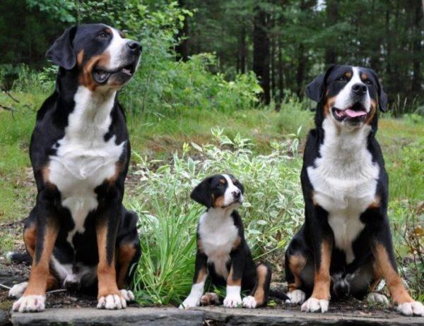 boala articulației câinelui de munte bernese)