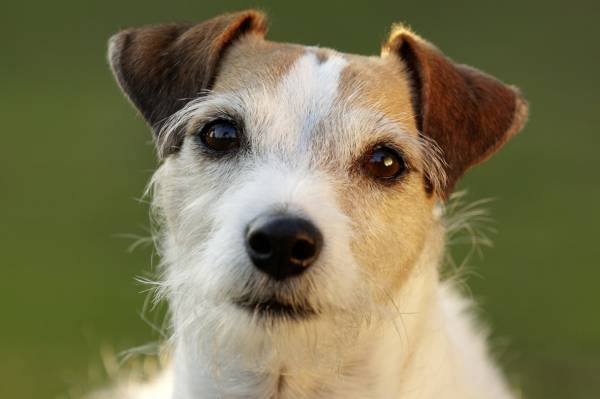 Parson Russell Terrier a citit articolul