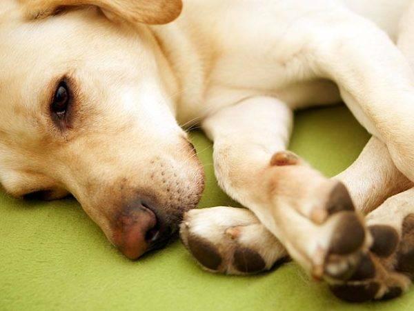 artroza într-un tratament pentru câini păstor
