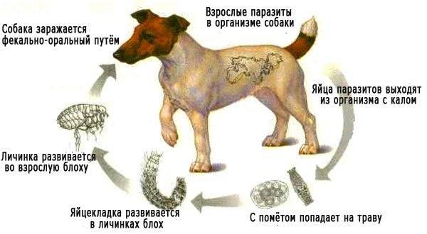 tratament pentru limbrici la catei)