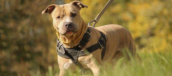 Amazing American Staffordshire Terrier