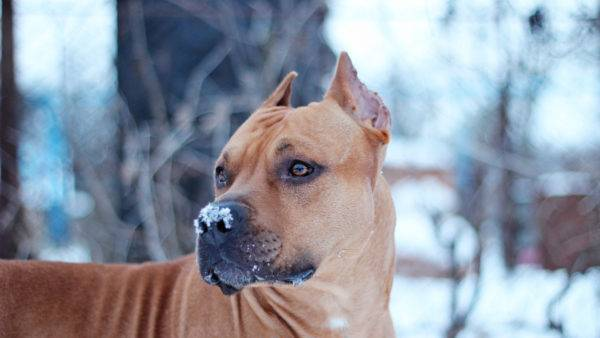 Minunat american Staffordshire Terrier