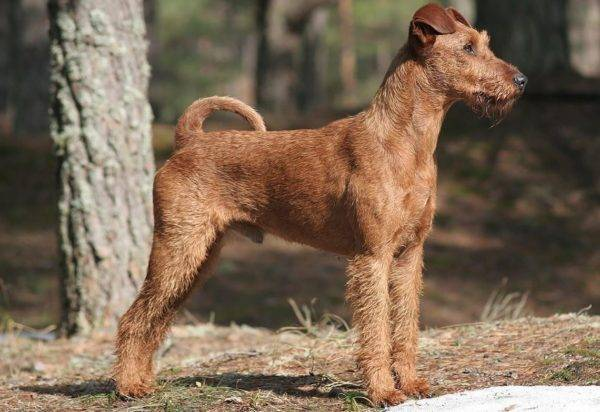 Cute Irish Terrier