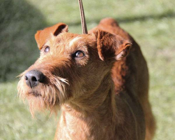Irish Terrier Eyes