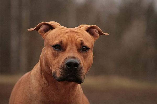 Terrier american Staffordshire
