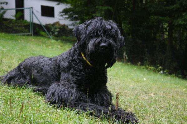 Black Russian Terrier (câinele lui Stalin)