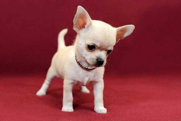 Chihuah catelus