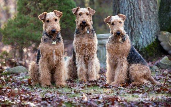 trei airedale terrier
