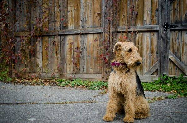 trist Airedale