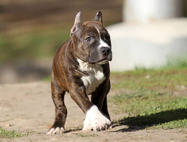 American Staffordshire Brindle Terrier