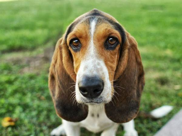 Basset Hound Care