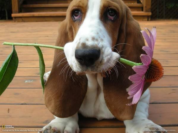Basset, câine rasa ghidul de informații și imagini